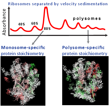 Direct Proteomics Evidence for Ribosome Specialization